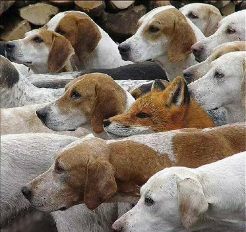 fox in hounds